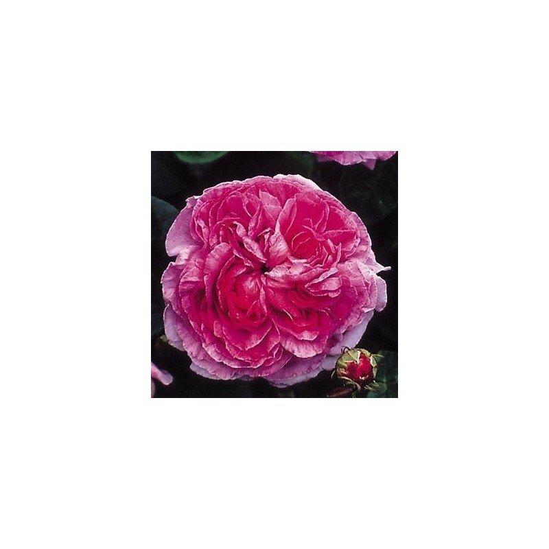 Rosa Baron Girod de L Ain