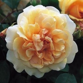 Rosa Buff Beauty