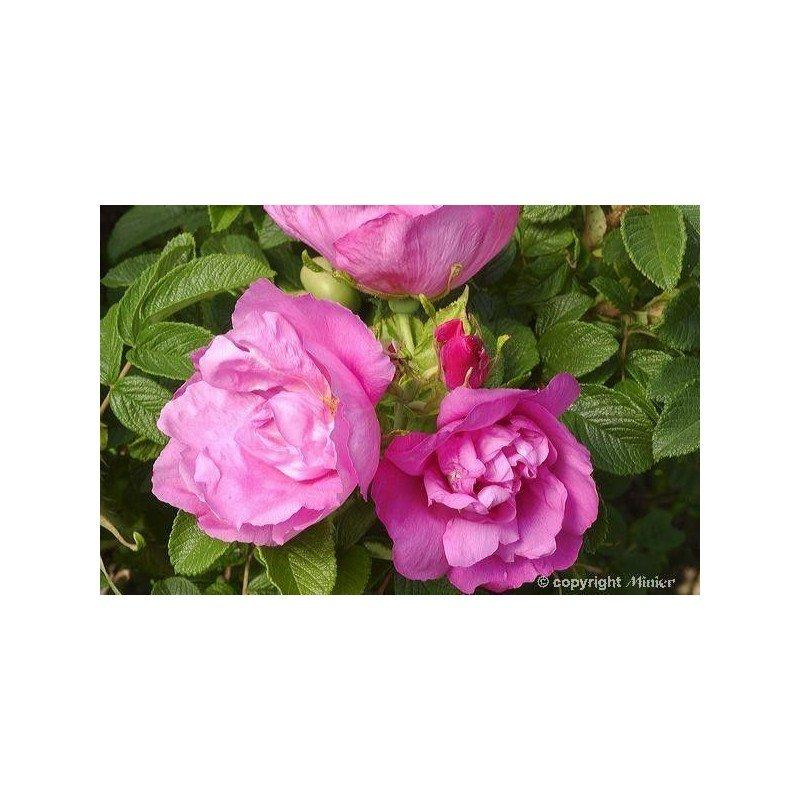 Rosa rugosa Pussy