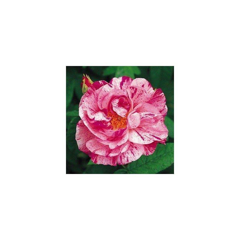Rosa Gallica Versicolor. Rosa Mundi ct