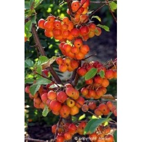 Malus Red Sentienl