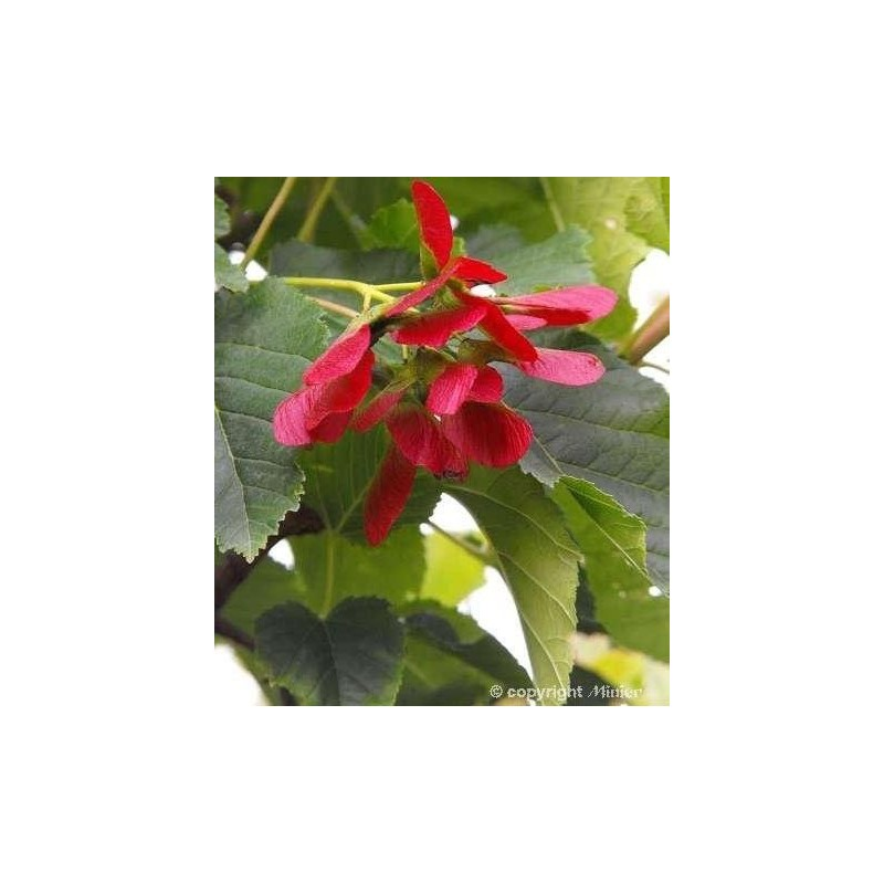 Acer Tataricum Hot Wings