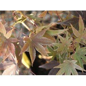 Acer palmatum Bloodgood