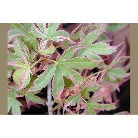 Acer palmatum Beni Shichihenge