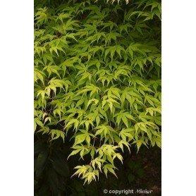 Acer palmatum Katsura c-3L
