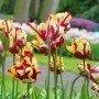 Tulipán Flaming Parrot