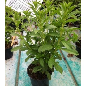 Stevia rebaudiana C-1