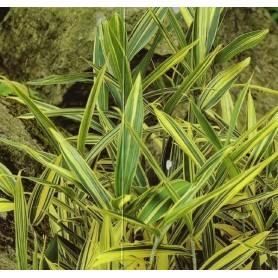 Pleioblastus simonnii variegatum