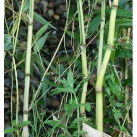 Phyllostachys Aureosulcata Spectabilis