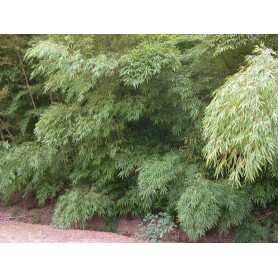 Phyllostachys nigra Henonis C-10 litros