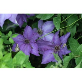 Clematis The President.