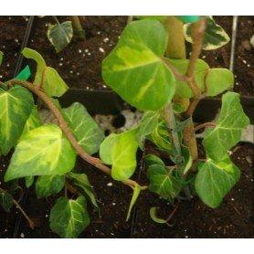 Hedera colchica dentata variegata