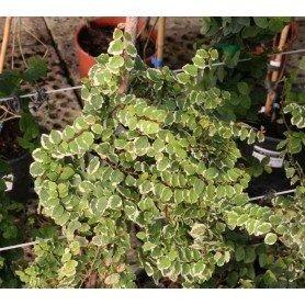 Ficus repens variegata C-17