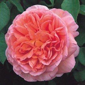 Rosa Abraham Darby rd