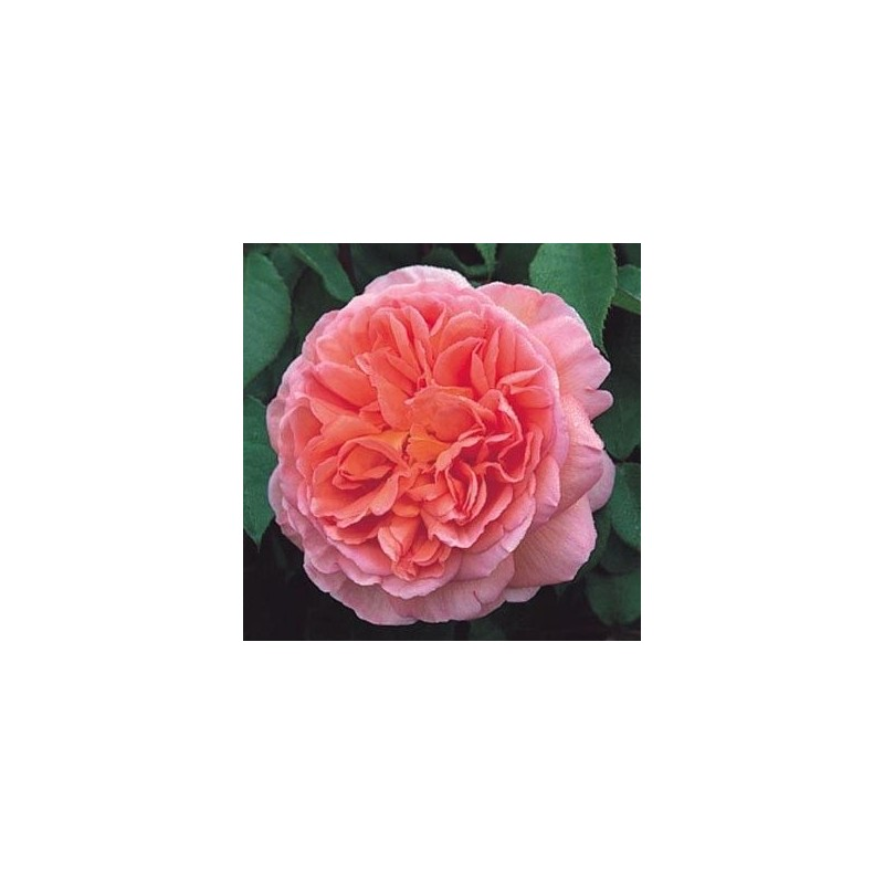 Rosa Abraham Darby rd