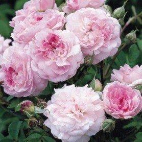 Rosa Rosemoor