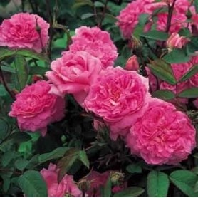 Rosa The Mayflower