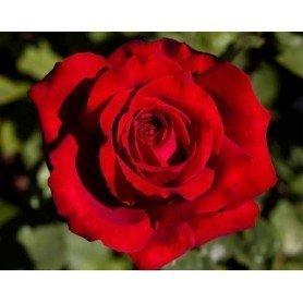 Rosa Botero