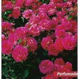 Rosa Manou Meilland
