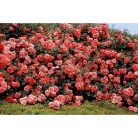Rosa paisajistico Les quatre Saisons rd