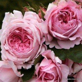 Rosa Princesa de Luxemburgo