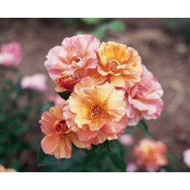 Rosa Trepador Sorbet Fruite