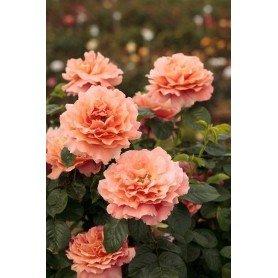 Rosa Trepador Polka