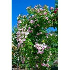 Rosa Trepador Domain de Courson