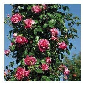 Rosa Trepador Ines Sastre