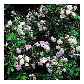 Rosa Blush Noisette