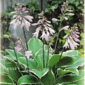 Hosta Fortunei Francee 1 ud