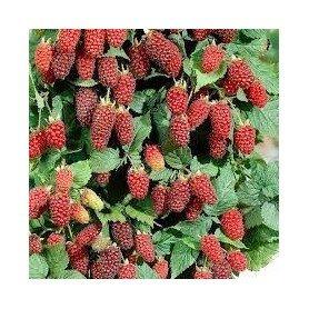 Rubus Tayberry