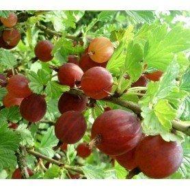 Ribes crispa Captivator 2 l
