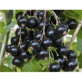 Ribes nigrum Andega 2 l