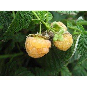 Rubus idaeus Fall Gold