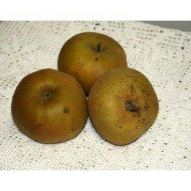Manzano reineta gris rd