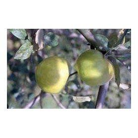 Manzano de sidra Txalaka rd
