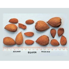 Almendro Guara GF 677 Ct