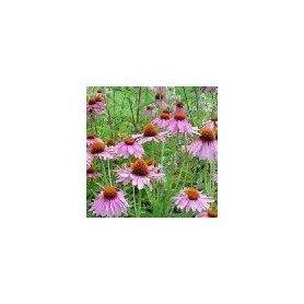 Semillas de Echinacea Purpurea
