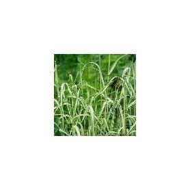 Phalaris Arundinacea 1 g