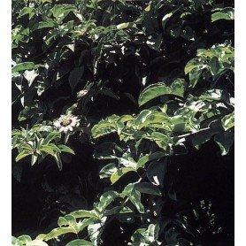 Semillas de Passiflora Edulis