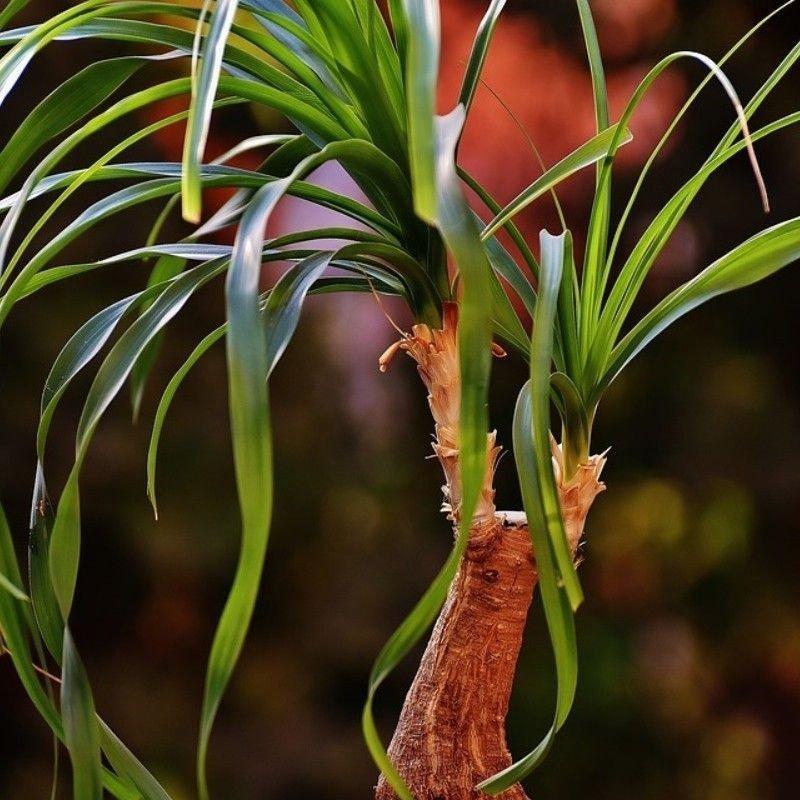 Beucarnea recurvata 50 cm