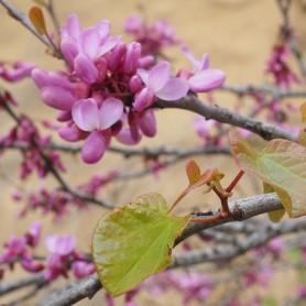 Cercis canadiensis Forest Pan M-23
