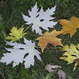 Acer sacharinum laciniatum wieri