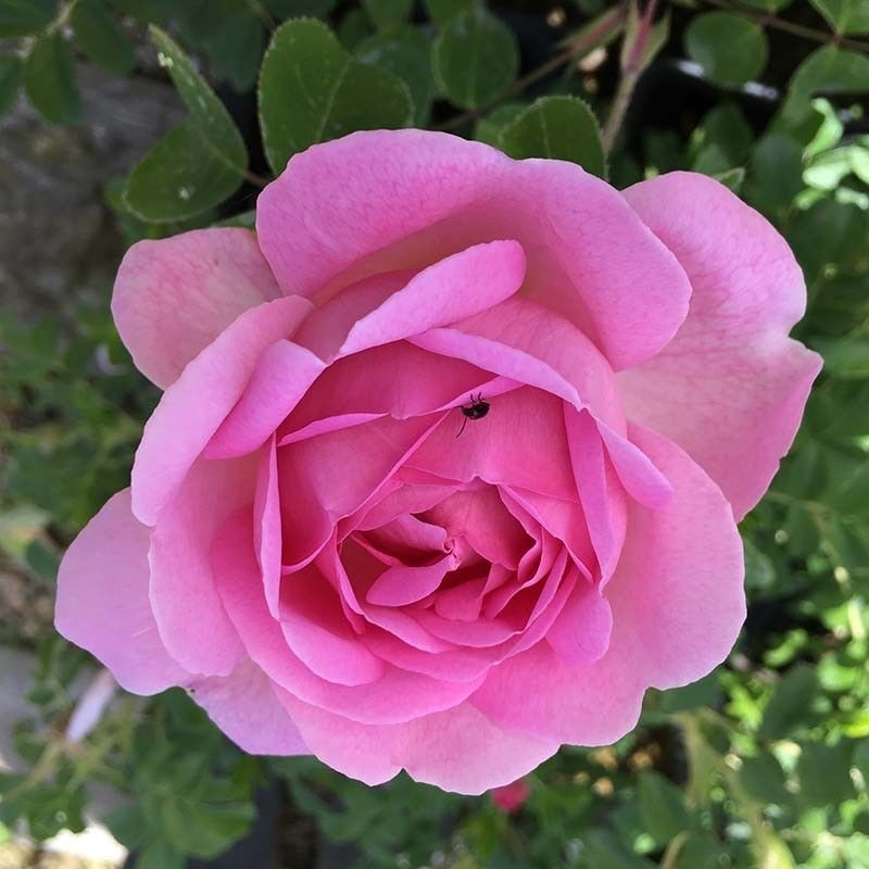 Rosa Constance Spry T