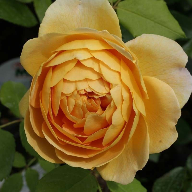 Rosa Golden Celebration T
