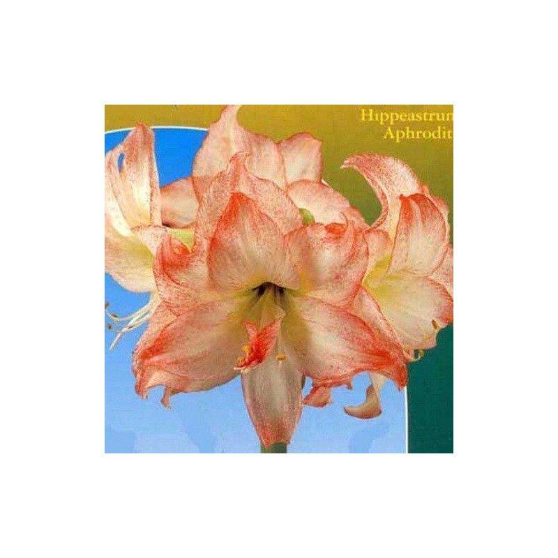 Amaryllis aphrodite, rosa-blanco 1 ud