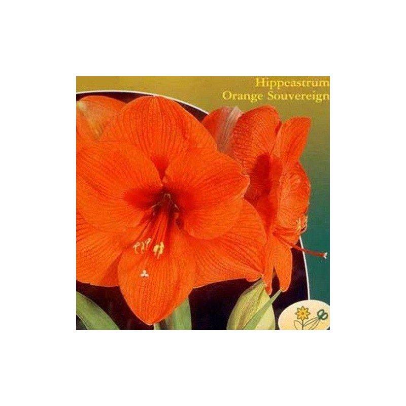 Amaryllis Naranja 1 ud