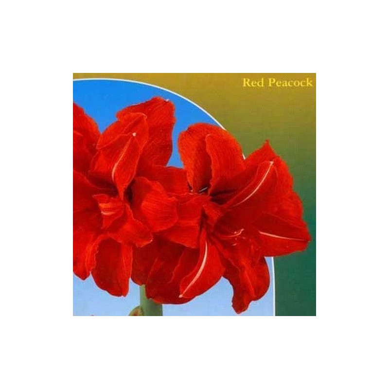 Amaryllis Red Peacock 1 ud