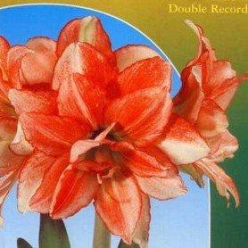 Amaryllis Double record 1 ud